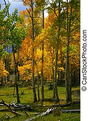 Sunlight filtering through golden aspen leaves lights up mountain forest glade on Mt. Shavano in the Colorado Rocky Mountains.