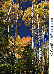 Aspen Glory - Aspen trees, with their red and golden leaves...
