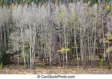 an abstract scene of an aspen grove