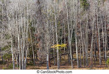 an aspen grove in late fall