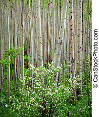 Aspen Grove and Dogwood Blooming, Maroon Bells Wilderness...
