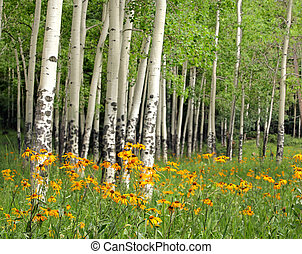 Aspen grove and orange wildflowers in a meadow near Valles Caldera, in Northern New Mexico