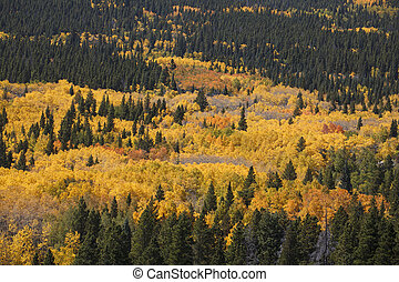 Aspen Grove in full Autum Colors with Pine Trees