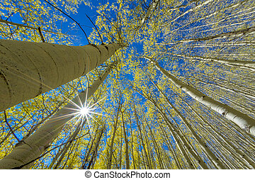 Looking up into the deep blue sky of aspens with the sun