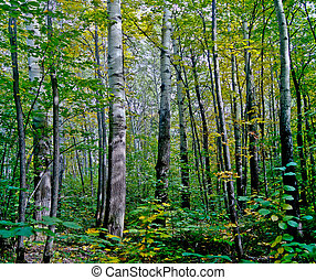 Aspen grove. - Aspen grove, filled with air and light.