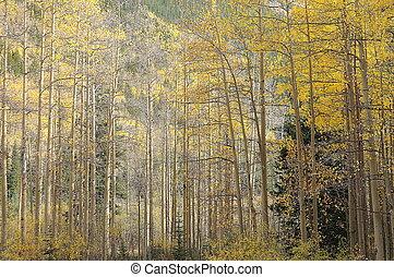 aspen grove