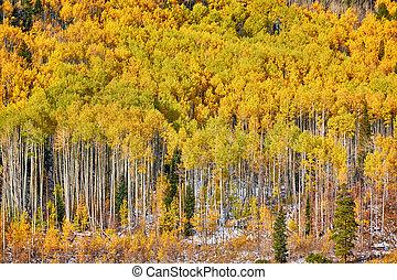 Aspen grove at autumn in Rocky Mountains. Colorado, USA.