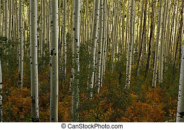 rich forest floor covered with ferns in aspen forest of colorado - horizontal