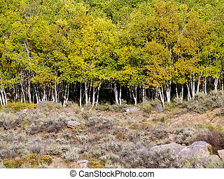 Grove of Aspen trees in Colorado with yellow fall leaves.