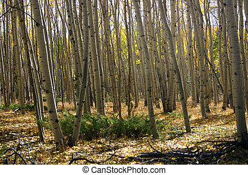 Grove of aspen trees with many shapes and shadows