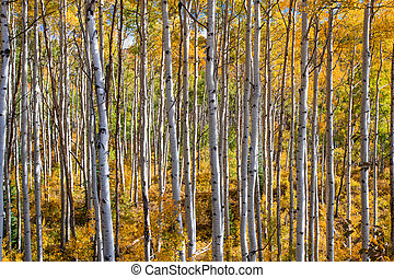 A forest of colorful aspen trees in fall.