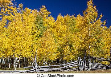 an aspen grove with foliage in golden fall splendor