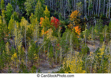 Aspen grove in autumn. View from above.