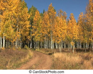 Aspen Grove in Fall - a colorful golden aspen grove in fall