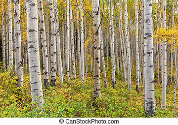 Aspen Grove in Fall - a scenic aspen landscape in fall