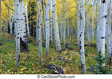 aspen grove in the fall