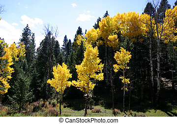Aspen Grove - Golden aspen trees surround high mountain...