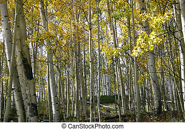 The golden foliage of aspen (Populus tremuloides) groves in the fall contrasts with the stark white of their trunks.