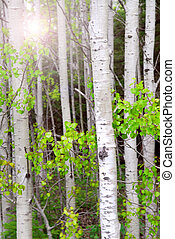 Aspen grove - Natural background of aspen tree trunks in the...