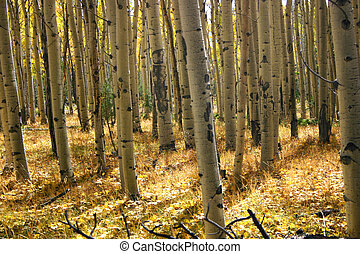 Aspen Grove - Thick groves of aspens in the fall.
