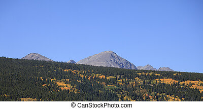 Aspen Grove in full Autum Colors with Pine Trees and Mountain Background