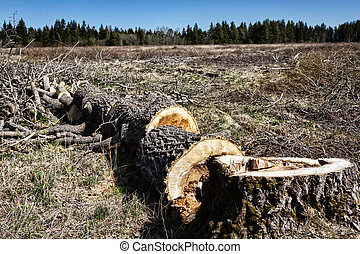 Forestry. Sawing wood with a power saw. This rotten aspen is cut on spot (logging site) into poppet (short logs, lump wood) for firewood