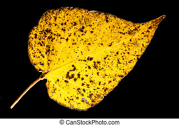 Aspen leaf isolated on black bachground