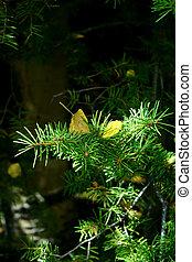 Aspen Leaf in Pine