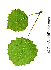 aspen leaf isolated on white