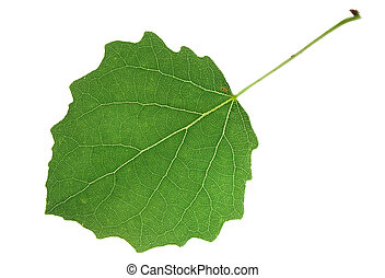 aspen leaf on isolated