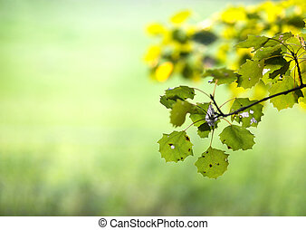 Aspen leaves in late summer on smooth green background