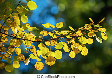Aspen leaves on a sunlit branch during autumn