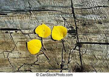 Three bright yellow aspen leaves on a wooden bench.