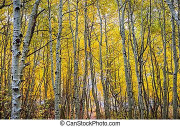 aspen, oriental, bosque, vestido, árvore, nublado, dia outono, califórnia, foliage, sierra, montanhas