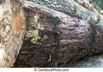 Aspen pith stock and heartwood rot (stem rot) - doted tree in forest products industry. Phytopathologies and tinder mushroom Phellinus tremulae negative role, forest damage in forestry