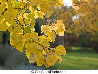aspen (populus) autumn yelow foliage