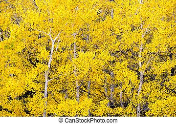 aspen sai, árvores, outono, cores, floresta, outono, mudança, branca