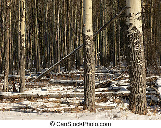 Aspen Stand in Winter