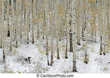 aspen, træer, ind, sne
