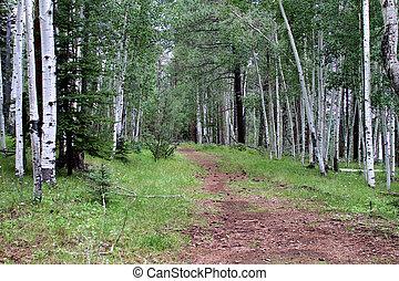 Trail through an Aspen forest in the White Mountains, Arizona