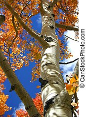 Aspen Tree - Aspen trees sport autumn colors which range ...