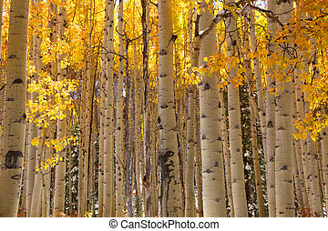 Aspen tree background - Bright yellow Aspen trees in autumn ...