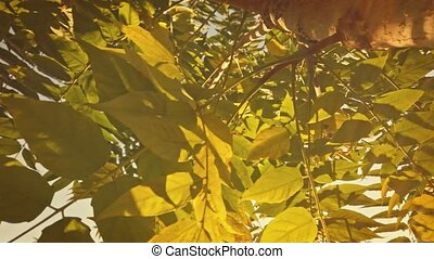 Aspen tree branches closeup back lit. Look up at green and yellow autumnal leaves full of sunlit.