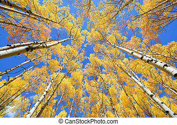 Aspen tree Fall foliage color in Colorado - Abstract of ...