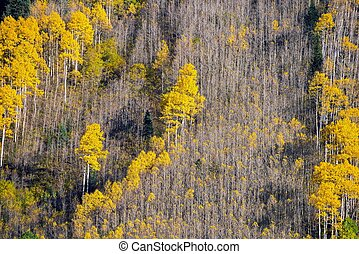 Aspen Tree Foliage - Aspen Tree Colorado Foliage. Aspen ...