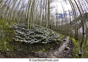 Aspen tree forest with trail - Dirt trail leads through ...