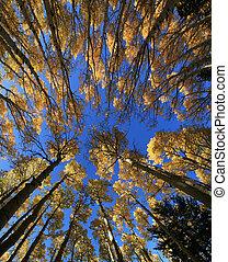 aspen tree grove