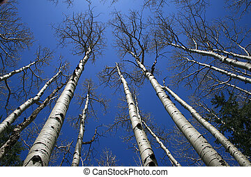 aspen tree grove - view up in aspen (Populus tremuloides) ...