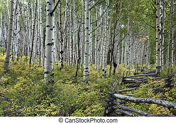 Aspen tree grove with rail fence