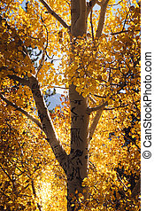 Aspen Tree in Colorado - Autumn Aspen Tree in Rocky Mountain...